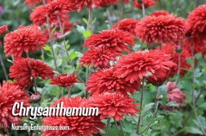 Red Flowers to Plant | Chrysanthemum