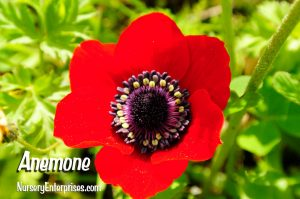 Red Flowers to Plant | Anemone