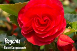 Red Flowers to Plant | Begonia