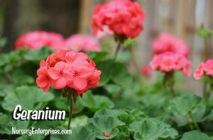 Red Flowers to Plant | Geranium | Nursery Enterprises