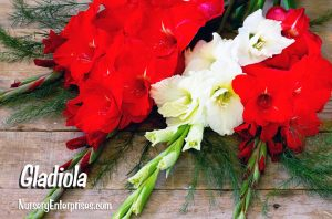 Red Flowers to Plant | Gladiola | Nursery Enterprises