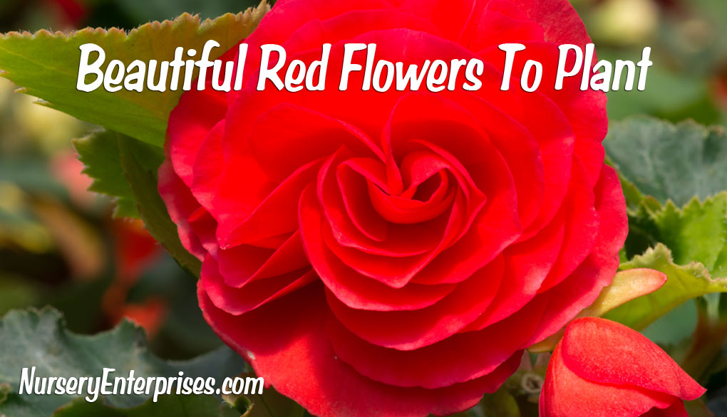 Red Flowers To Plant