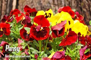 Red Flowers to Plant | Pansy | Nursery Enterprises
