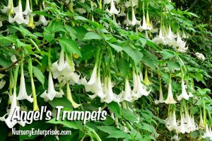 Angel's Trumpets | White Flowers To Plant