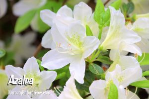 Azalea | White Flowers To Plant