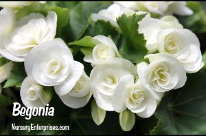 Begonia | White Flowers To Plant