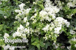 Bougainville | White Flowers To Plant
