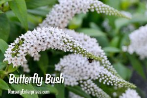 Butterfly Bush | White Flowers To Plant