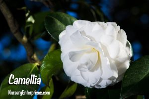 Camellia | White Flowers To Plant