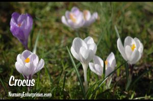 Crocus | White Flowers To Plant
