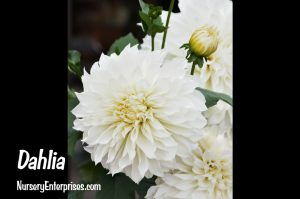 Dahlia | White Flowers To Plant