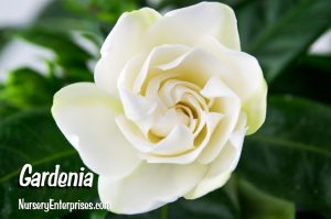 Gardenia | White Flowers To Plant