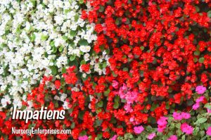 Red Flowers to Plant | Impatiens | Nursery Enterprises