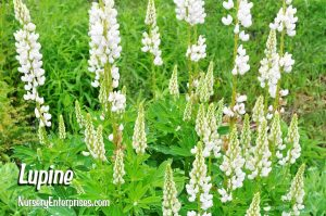 Lupine | White Flowers To Plant