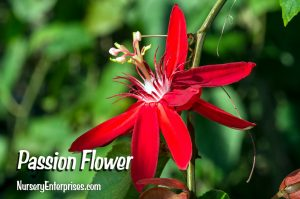 Red Flowers to Plant | Passion Flower | Nursery Enterprises