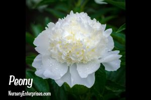 Peony | White Flowers To Plant