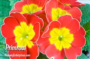 Red Flowers to Plant | Primrose | Nursery Enterprises