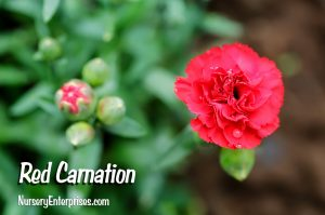 Red Flowers to Plant | Red Carnation| Nursery Enterprises