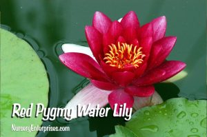 Red Flowers to Plant | Red Pygmy Water Lilly| Nursery Enterprises