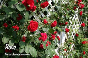 Red Flowers to Plant | Rose| Nursery Enterprises