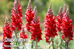 Red Flowers to Plant | Snapdragons | Nursery Enterprises