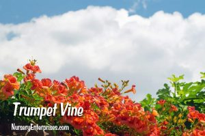 Red Flowers to Plant | Trumpet Vine