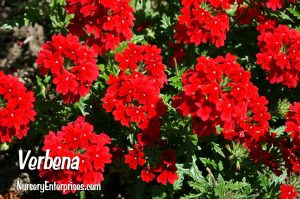 Red Flowers to Plant | Verbena | Nursery Enterprises