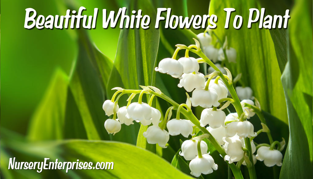 White Flowers To Plant