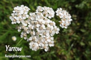 Yarrow | White Flowers To Plant