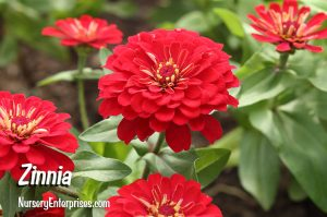 Red Flowers to Plant | Zinnia | Nursery Enterprises