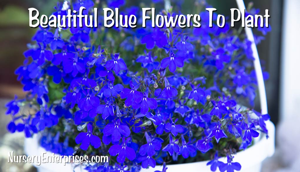 Blue Flowers To Plant