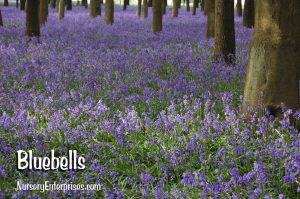 Bluebells | Blue Flowers To Plant