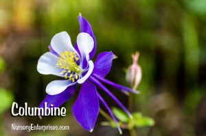 Columbine | Blue Flowers To Plant
