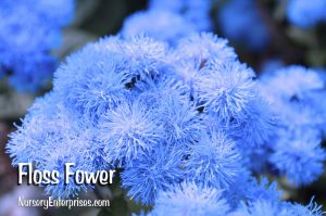 Floss Flower | Blue Flowers To Plant