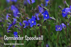 Germander Speedwell | Blue Flowers To Plant