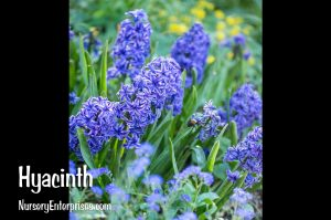 Hyacinth | Blue Flowers To Plant
