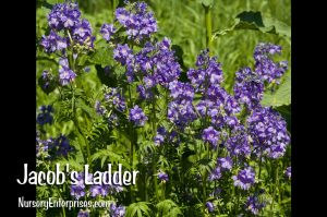 Jacob's Ladder | Blue Flowers To Plant